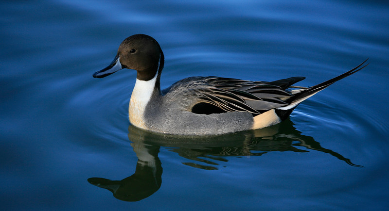 Male Pintail Duck - Central Ponds - Reifel Bird Sanctuary, British Columbia Canada