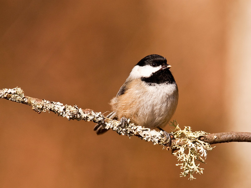 Chickadee, Richmond BC, Canada