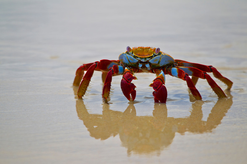 Image created with Photoshop CS5<br /> <br /> Sally lightfoot Crab scurries across the beach on Floreana Island, The Galapagos