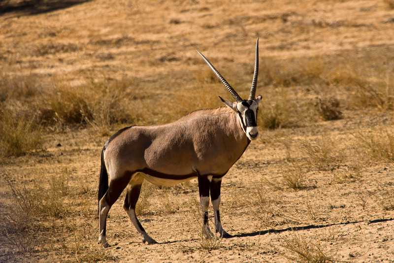 Male Gemsbok - Kaglagadi Transfrontier Park - South Africa side<br /> <br /> Gemsbok are light brownish-grey to tan in colour, with lighter patches to the bottom rear of the rump. Their tails are long and black in colour.A dark brown stripe extends from the chin down the bottom edge of the neck through the join of the shoulder and leg along the lower flank of each side to the brown section of the rear leg. They have muscular necks and shoulders and their legs have white 'socks' with a black patch on the front of both the front legs and both genders have long straight horns. Gemsbok live in herds of about 10-40 animals, which consist of a dominant male, a few non-dominant males, and females. Gemsbok are about 1.4 Metres at the shoulder and males can weigh between 230-250kg while females weigh 200-210kg. They can reach running speeds of up to 56 km/h (35 mph)