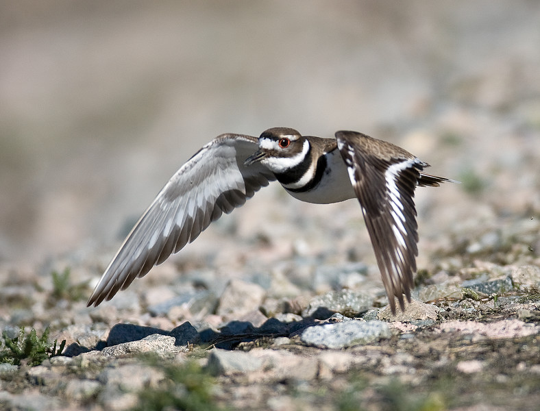 Kildeer - Iona Beach - Richmond British Columbia