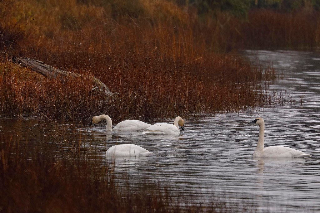Swans, Cranberry Lake, Deception Pass State Park, Washington