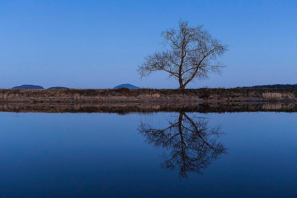 Lone Tree, Padilla Slough, near Anacortes, Washington