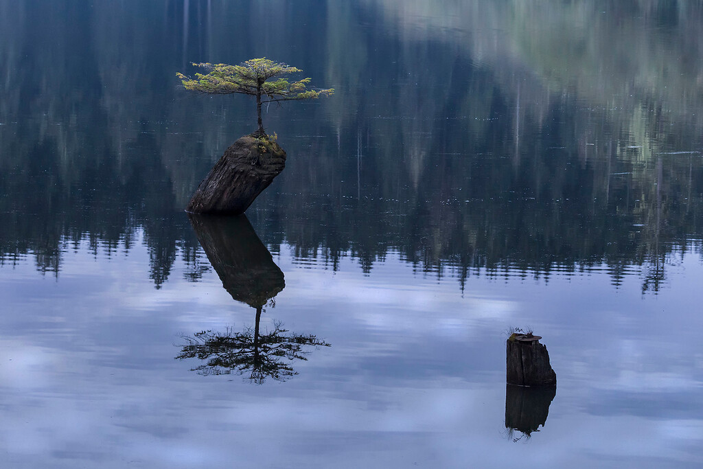 New Life, fir growing out of old stump in Fairy Lake, Vancouver Island, BC
