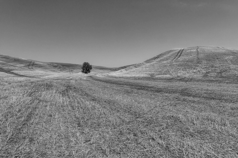 Lone tree in the Palouse hills, Washington