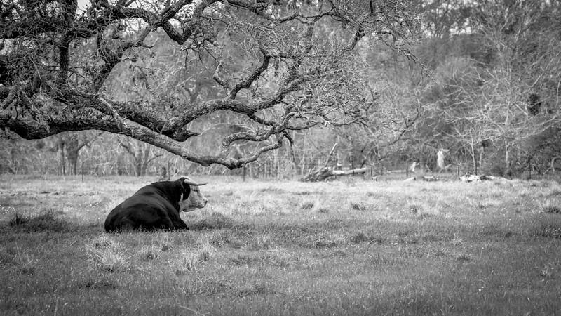 Stud Bull in Spring