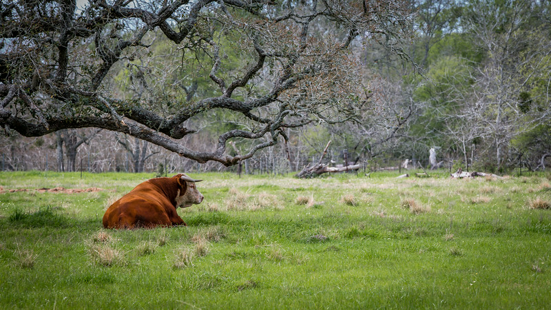 Stud Bull out to Pasture