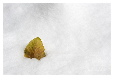 Elm Leaf In Snow