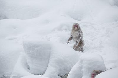 Japan Snow Monkey