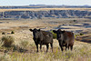 Cattle at the Double Bar Seven Ranch, belonging to The Nature Conservancy. The ranch is located near Scenic, South Dakota, USA.