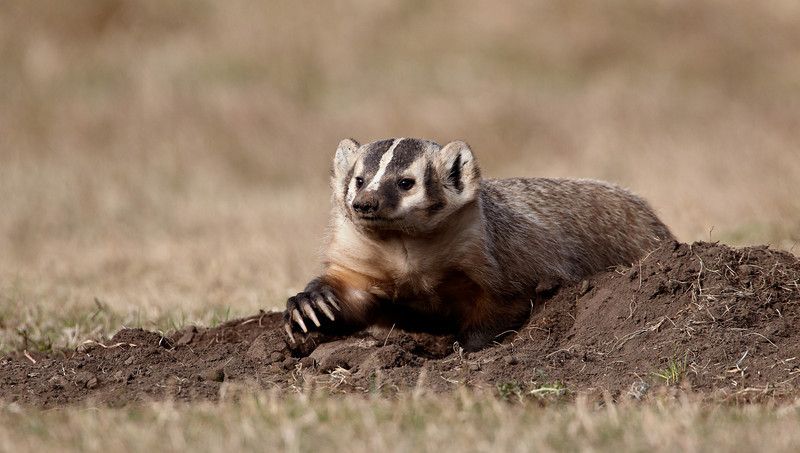"""""""Earthmover""""<br /> <br /> An American badger (Taxidea taxus) emerges and digs in the dirt surrounding the den. Those claws could really accomplish a lot of earthmoving in a short time. Mainly nocturnal, the animal was out in the daylight for this image. Taken in Custer State Park, South Dakota, USA."""