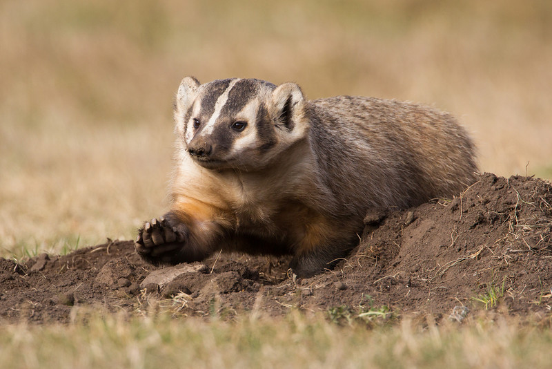 An American badger (Taxidea taxus) emerges and digs in the dirt surrounding the den. Normally nocturnal, the animal was out in the daylight for this image. Taken in Custer State Park, South Dakota, USA.