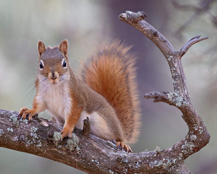 An American red squirrel (Tamiasciurus hudsonicus). The species is also known as the red squirrel or spruce squirrel. Taken in Custer State Park, South Dakota, USA.