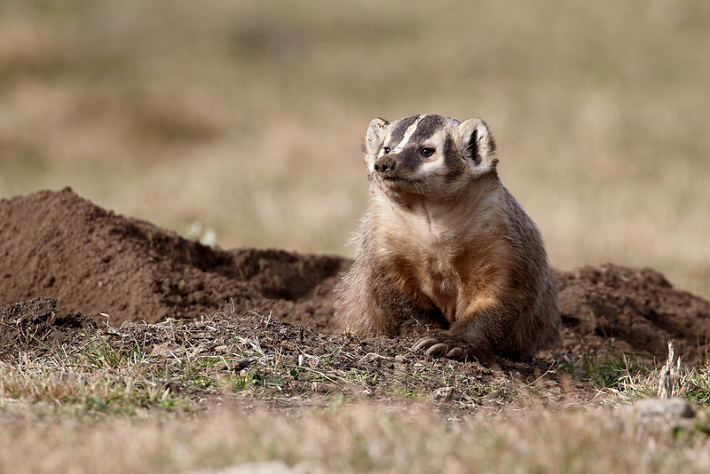 An American badger (Taxidea taxus) emerges from its den. Normally nocturnal, the animal was out in the daylight for this image. Taken in Custer State Park, South Dakota, USA.