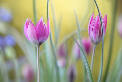 "Tulipa Hageri ""Little beauty"""