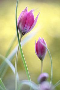 Tulipa Hageri 1