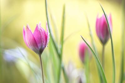 Tulipa 3