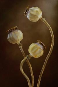 Poppy seedheads