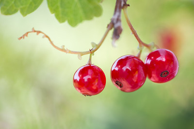 Redcurrants 1