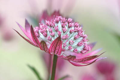 Astrantia Major Purple Joyce