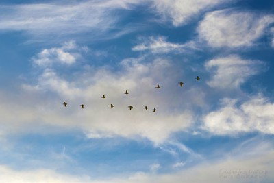 geese/009944 **
