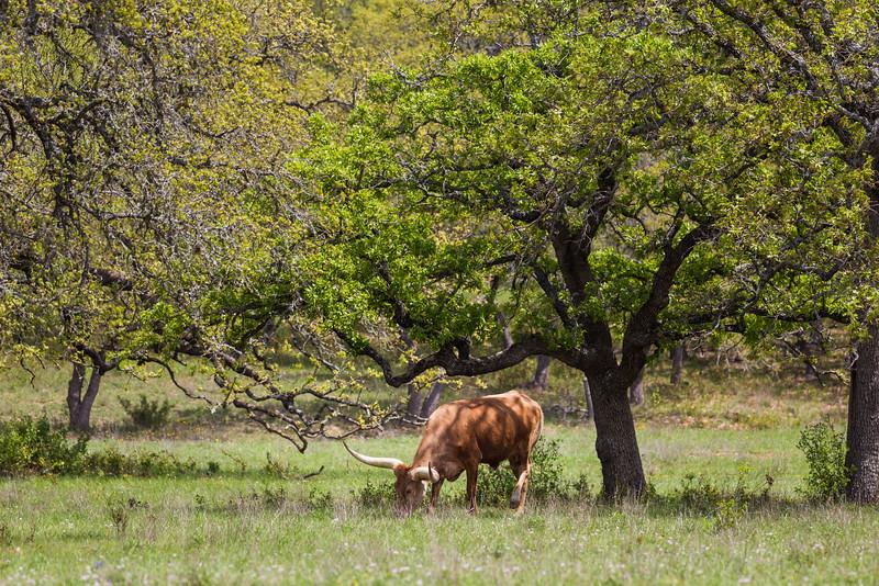 A Texas longhorn bull grazes amongst oak trees. Taken on the Willow City Loop, Texas, USA.