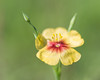 """""""New One""""<br /> <br /> Hudson flax (Linum hudsonioides Planch.), also known as Texas flax, or yellow flax. This was a new one for me, as I've never seen this type of wild flax. Taken at Muleshoe Bend Recreation Area, Texas, USA."""