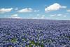 Texas bluebonnets (Lupinus texensis). Taken at Muleshoe Bend Recreation Area, Texas, USA.