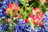 Indian paintbrush (Castilleja sp.) and Texas bluebonnets (Lupinus texensis). Taken at Muleshoe Bend Recreation Area, Texas, USA.