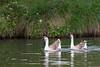 Chinese geese (Anser cygnoides) swimming in Live Oak Creek. Taken in Lady Bird Johnson Municipal Park, Fredericksburg, Texas.
