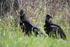 Two black vultures (Coragyps atratus). Taken at Inks Lake State Park, Texas, USA.