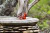 A male Northern cardinal (Cardinalis cardinalis) enjoying his bath. Taken at Pedernales Falls State Park, Texas, USA.