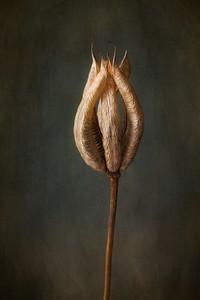 Columbine seedpod
