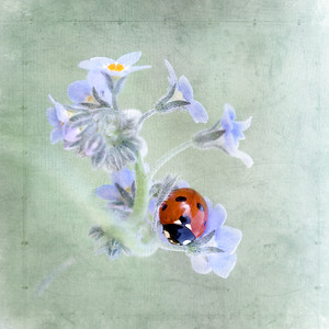 Forget me not ladybird