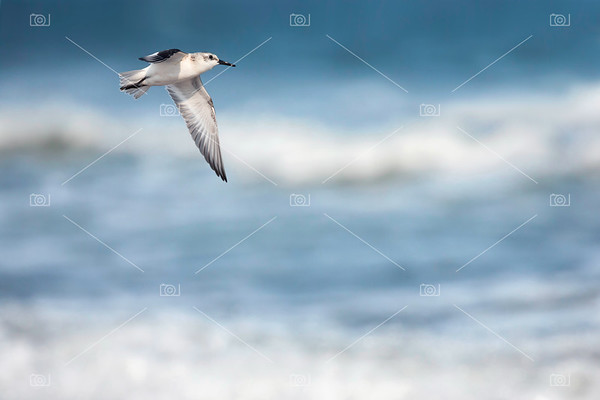 Sanderling in flight