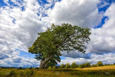 Windswept tree in summer meadows