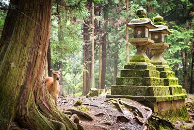 Young sika deer in Nara Park