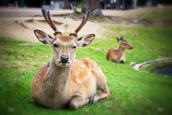 Sika deer in Nara Park, Japan