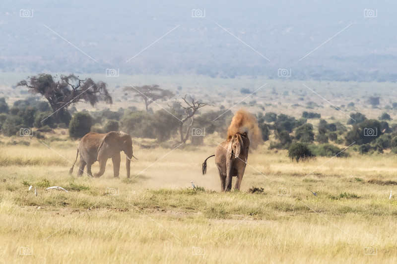 Elephant dusting in the heat of Amboseli