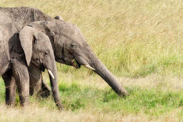 African elephants eating the lush green grass of the Masai Mara