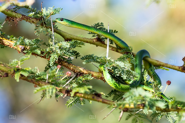 Common green snake at lake Naivasha