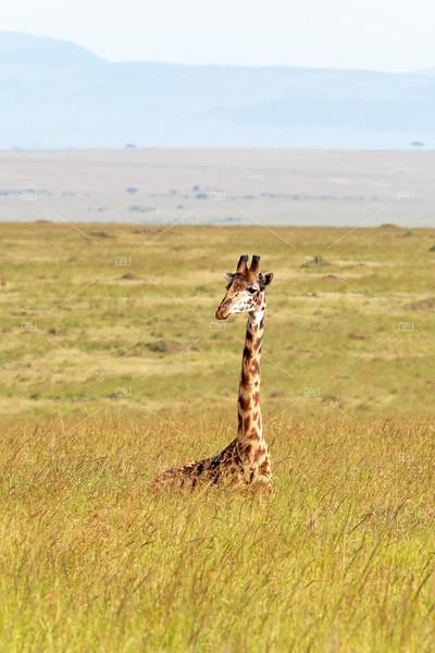 A Masai giraffe resting in the long grass of the Masai Mara