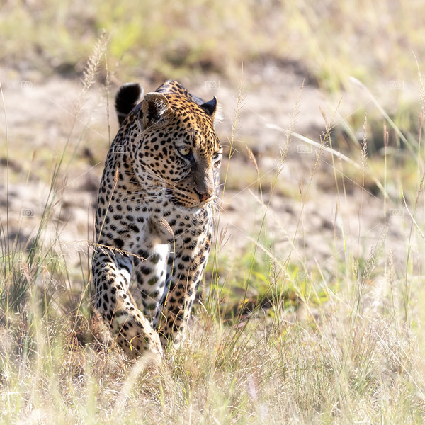 Adult leopard walking through the long grass of the Masai Mara