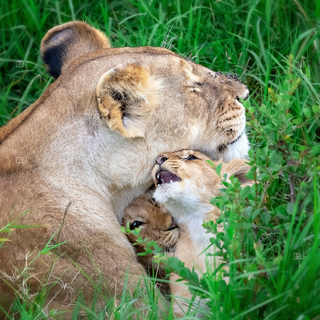 Lioness and cubs in the Masai Mara, Kenya