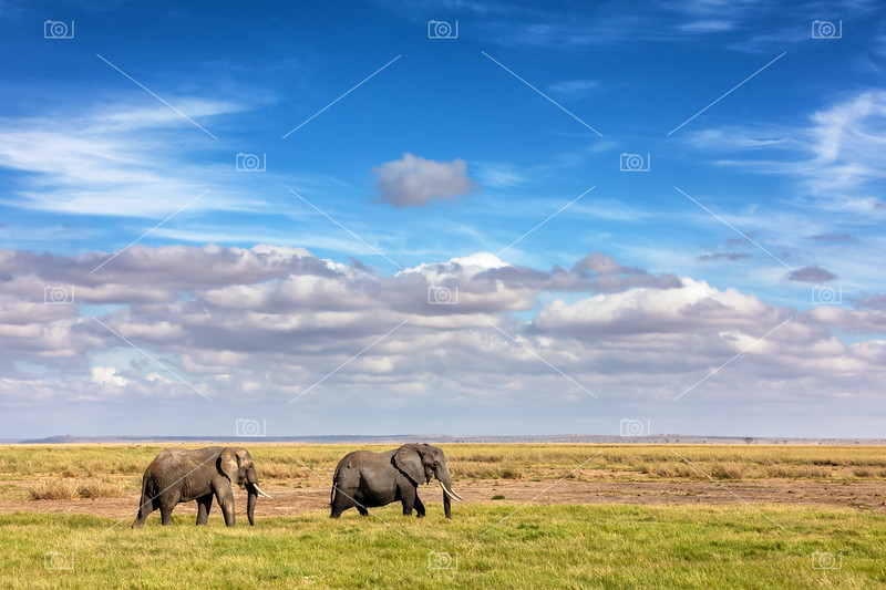 Elephants walking in the grasslands of Amboseli