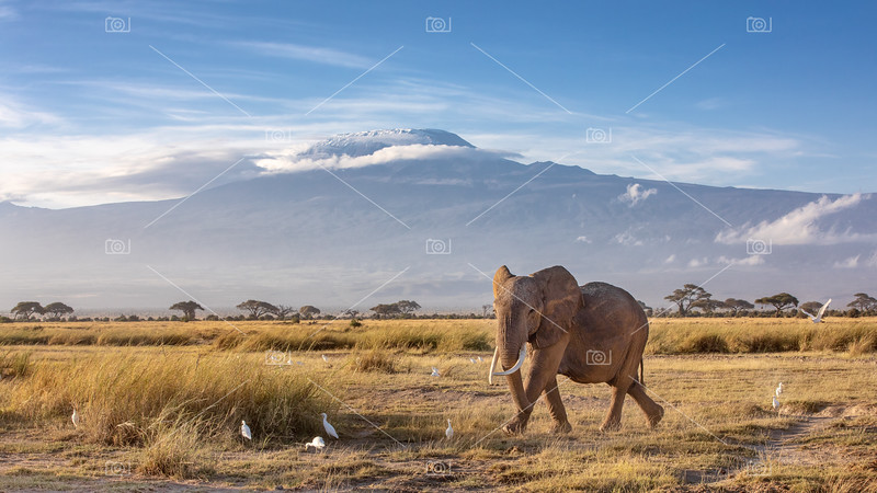 Elephant and Mount Kilimanjaro