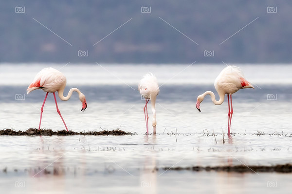 Greater flamingoes on Lake Nakuru