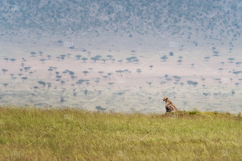 Cheetah in the grass of the Masai Mara
