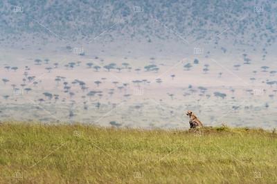 Cheetah in the grass of the Masai Mara