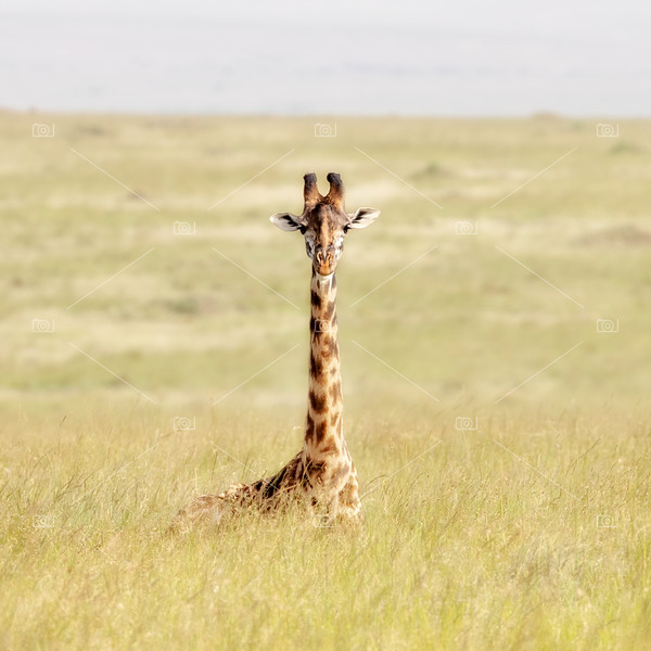 Masai Giraffe sitting in the soft long grass of the Masai Mara